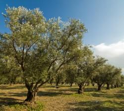Borges - 5 вещей, которые вы возможно не знали об оливковом дереве
