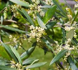 Borges Russia - оливковом дереве